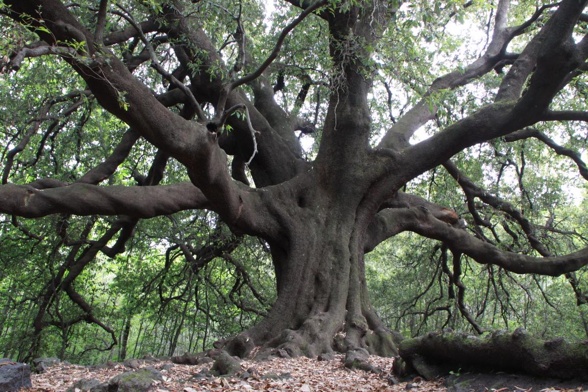 IMG_6461-Quercus-ilex-Ilice-di-carrinu